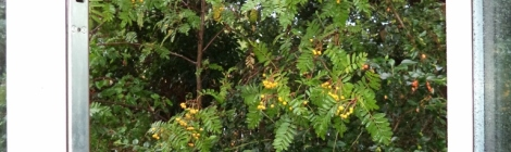 Rain on the rowan tree